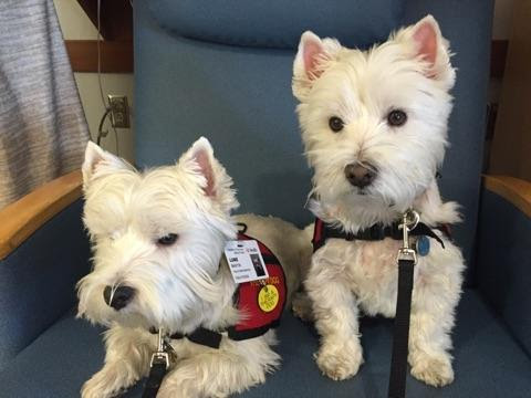 Two West Highland White Terriers sit on a chair.